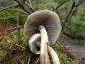 Třepenitka maková (Hypholoma capnoides) - jedlá foto: Jiří Pošmura