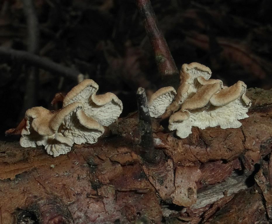 Měkkouš kadeřavý (Plicaturopsis crispa)-nejedlý  foto Jiří Pošmura