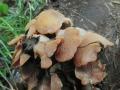 Pařezník obecný (Panellus stipticus) - nejedlý foto Jiří Pošmura