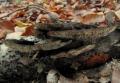 Lupeník březový (Lenzites betulina)-nejedlý - foto: Jiří Pošmura