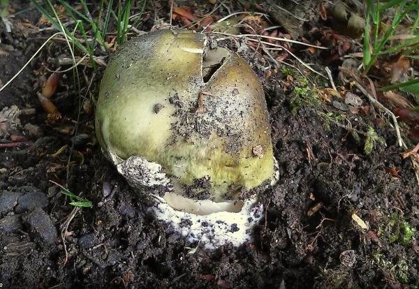 houba - muchomůrka zelená