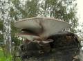 Hlíva ústřičná (Pleurotus ostreatus)-jedlá - Foto: Jiří Pošmura