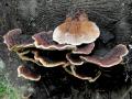 Tramovka plotni (Gloeophyllum sepiarium)- nejedla  foto Jiri Posmura