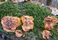 žilnatka-oranžová-Phlebia-radiata-foto-Jiří-Pošmura