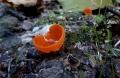 Mísenka-oranžová-Aleuria-aurantia-jedlá-foto-Jiří-Pošmura