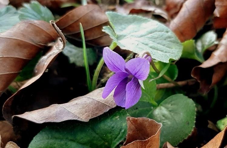 30.11.2020-violka-vonna-Viola-odorata-foto-Jiri-Posmura