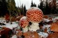 Zima se hlásí poprašek na much.červené - Foto: Jiří Pošmura