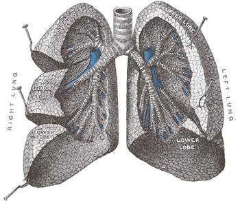 plíce