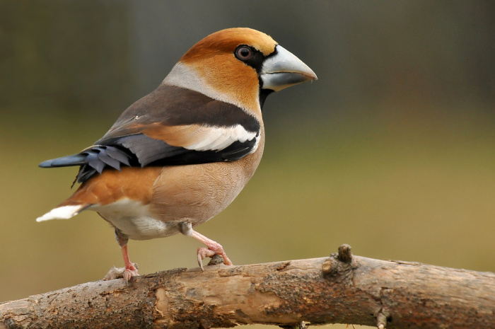 Pták Dlask tlustozobý. Foto P. Korelus
