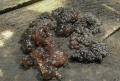 Černorosol bukový - (Exidia glandulosa) nejedlý foto: Jiří Pošmura