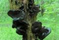 Černorosol uťatý (Exidia truncata) nejedlý foto Jiří Pošmura