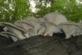 Hlíva plicní (Pleurotus pulmonarius)-jedlá foto: Jiří Pošmura (3)