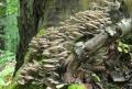 Hlíva plicní (Pleurotus pulmonarius)-jedlá Foto: Jiří Pošmura (4)