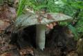 Holubinka namodralá (Russula cyanoxantha) -jedlá foto: Jiří Pošmura