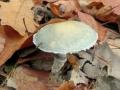 Limcovka medenkova (Stropharia aeruginosa)-nedobra foto Jiri Posmura