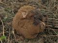 Pýchavka (vatovec) obrovská - Langermannia gigantea-jedlá foto Jiří Pošmura